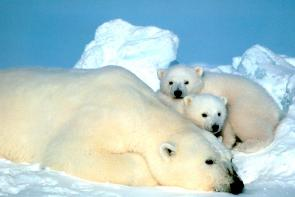 <p><strong>Fig. 6.28.</strong>&nbsp;(<strong>C</strong>) Polar bear (<em>Ursus maritimus</em>) adult and two cubs</p><br />