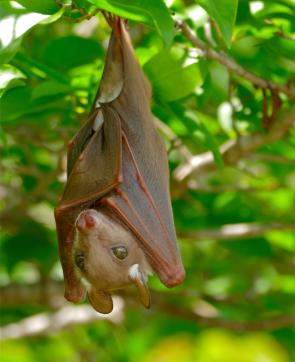 <p><strong>Fig. 6.2.</strong> (<strong>A</strong>) Epauletted fruit bat (<em>Epomophorus</em> sp.)</p><br />