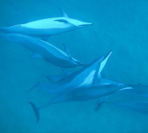 <p><strong>Fig. 6.30.</strong> Pod of spinner dolphins (<em>Stenella longirostris</em>) communicating during play, Lana'i, Hawai'i</p><br />