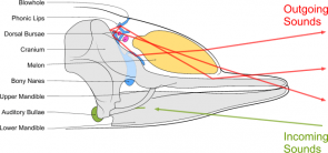 <p><strong>Fig. 6.31.</strong>&nbsp;(<strong>B</strong>) Anatomy of underwater sound production in an odontocete whale</p><br />
