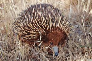 <p><strong>Fig. 6.4.1.</strong> (<strong>A</strong>) Short-beaked echidna (<em>Tachyglossus aculeatus</em>), Swifts Creek, Victoria, Australia</p><br />