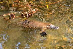 <p><strong>Fig. 6.4.1.</strong>&nbsp;(<strong>B</strong>) Platypus (<em>Ornithorhynchus anatinus</em>), Tasmania, Australia</p><br />