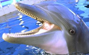 <p><strong>Fig. 6.7.</strong>&nbsp;(<strong>B</strong>) Bottlenose dolphin (<em>Tursiops truncatus</em>) showing sharp teeth</p><br />