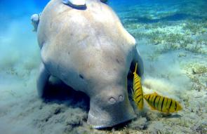 <p><strong>Fig. 6.8.</strong> (<strong>B</strong>) Dugong (<em>Dugong dugon</em>) feeding on seagrass, Marsa Abu Dabab, Egypt</p><br />
