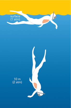 <p><strong>Fig. 9.11.</strong> As a result of the increased pressure, the lungs (pink) compress slightly as a free diver moves from the ocean surface (1 atm of pressure) to 10 m (2 atm of pressure).</p><br />