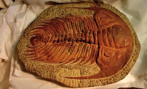 <p><strong>Fig. 7.11.</strong>&nbsp;(<strong>C</strong>) Fossilized <em>Paradoxides</em> trilobite, a diverse group of marine arthropods that went extinct at the end of the Paleozoic era.</p><br />