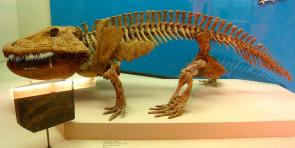 <p><strong>Fig. 7.11.</strong>&nbsp;(<strong>D</strong>) Fossil skeleton of <em>Eryops</em>, an extinct amphibian that lived around 295 mya in the late Paleozoic era.</p><br />