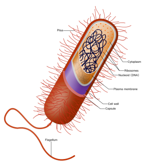 <p><strong>SF Fig. 2.1.</strong> (<strong>A</strong>) Prokaryote bacterium with a cell wall made of peptidoglycan</p><br />