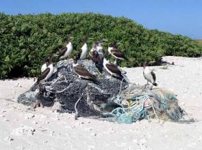 <p><strong>SF Fig. 3.3.</strong> (<strong>A</strong>) Brown boobies (<em>Sula leucogaster</em>) sitting on a pile of marine debris on Green Island, Kure Atoll.</p><br />