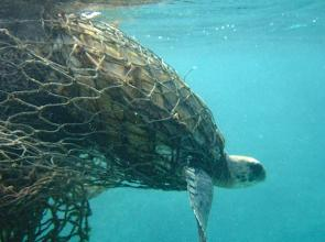 <p><strong>SF Fig. 3.3.</strong> (<strong>B</strong>) A green sea turtle is entangled in an abandoned fishing net.</p><br />