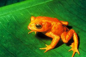 <p><strong>SF Fig. 5.1.</strong> The golden toad (<em>Bufo periglenes</em>) of Costa Rica is now extinct in the wild.</p><br />
