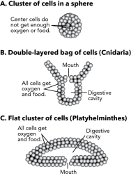 <p><strong>Fig. 3.40.</strong> Arrangements of cell clusters (<strong>A</strong>) Cluster of cells in a sphere (<strong>B</strong>) Double-layered bag of cells (phylum Cnidaria) (<strong>C</strong>) Flat cluster of cells (phylum Platyhelminthes)</p><br />
