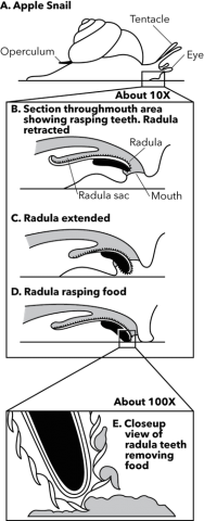 <p><strong>Fig. 3.55.</strong> Herbivorous gastropod radula scraping food</p><br />