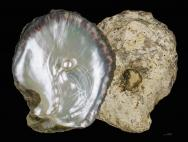"<p><span style=""font-size: 13.008px;""><strong>Fig. 3.64.</strong> Layers of nacre inside a black-lip pearl oyster (<em>Pinctada margaritifera</em>) shell with all living tissue removed. A pearl is small particle lodged between the mantle and shell that becomes covered in a nacreous layer.</span></p><br />"