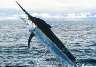 <p><strong>Fig. 4.16.</strong> (<strong>B.3</strong>) A billfish</p><br />