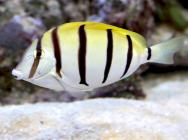 <p><strong>Fig. 4.2.</strong> (<strong>A</strong>) Fish—one individual, such as a convict tang (<em>Acanthurus </em><em>triostegus</em>) by itself</p><br />