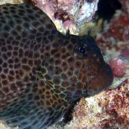 <p><strong>(C)</strong> Blenny with non-chemosensory cirri, which cannot taste or smell</p><br />