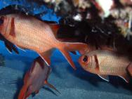 <p><strong>Fig. 4.46. (A) </strong>Soldierfish</p><br />