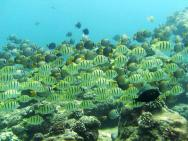 <p><strong>(C)</strong> school of convict tang and whitebar surgeonfish</p><br />