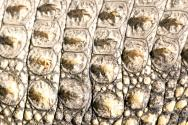 <p><strong>Fig. 5.30.</strong>&nbsp;(<strong>C</strong>) Nile crocodile (<em>Crocodylus niloticus</em>) skin</p><br />