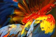 <p><strong>Fig. 5.42.</strong> (<strong>A</strong>) Colorful feather plumage on a scarlet macaw (<em>Ara macao</em>)</p><br />