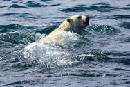 <p><strong>Fig. 6.9.</strong>&nbsp;(<strong>D</strong>) Polar bear (<em>Ursus maritimus</em>) swimming, Arctic ocean basin</p><br />