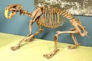 <p><strong>Fig. 7.13.</strong>&nbsp;(<strong>C</strong>) Fossilized skeleton of the extinct saber-toothed cat <em>Smilodon fatalis</em> from the late Cenozoic era.</p><br />
