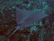 <p><b>Fig. 4.13.</b> (<strong>D</strong>) a spotted eagle ray</p><br />