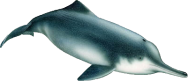 <p><strong>SF Fig. 6.1.</strong> (<strong>B</strong>) Baiji or Yangtze River dolphin (<em>Lipotes vexillifer</em>)</p><br />