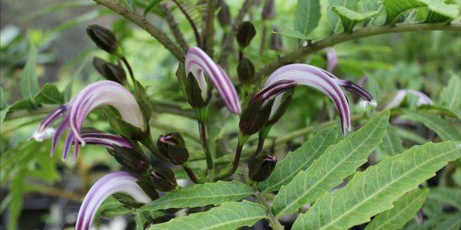 Lyon_Cyanea_Rare_Plants