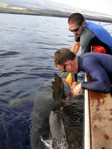 Applying a tag to a shark