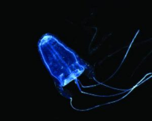 Box jellyfish (Alatina moseri)