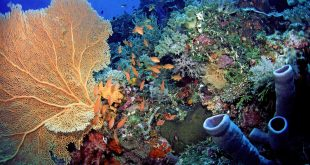 Anthias & Gorgonian