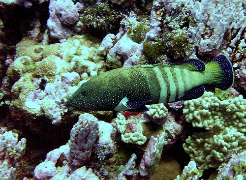 Peacock grouper, courtesy NOAA Photo Library (Image ID reef1495, NOAA's Coral Kingdom)