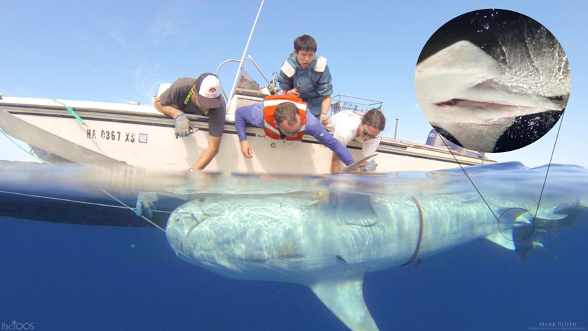 Male tiger shark next to boat