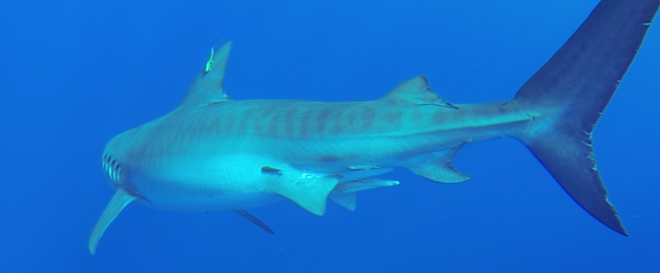 Tagged tiger shark