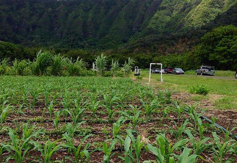 Corn at Waimanalo Research Station Open House