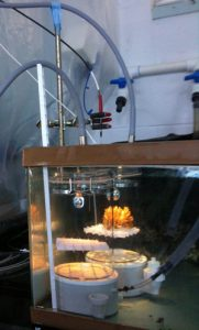 Adult corals were placed in closed chambers to measure physiology. (credit: Hollie Putnam, HIMB)