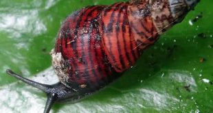 One of the last remaining amastrid land snail species on O'ahu: Laminella sanguinea in the Waianae Mountains. (photo credit: Kenneth A. Hayes)
