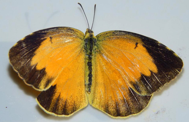 Top view of the Sleepy Orange butterfly