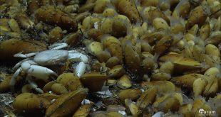 Woody mussels (shown), like all organisms, rely on microbes for health. Credit: MARUM, Bremen