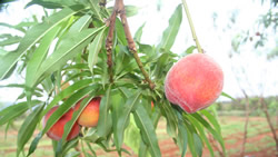 peach_CTAHR_cropped