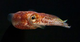 Hawaiian bobtail squid Credit: The Squid and Vibrio Labs.