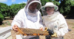 University of Hawaiʻi graduate student Scott Nikaido and researcher Ethel Villalobos examine honeybees in a hive.