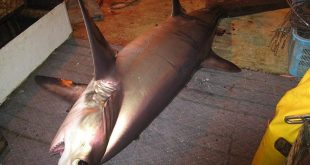 Bigeye thresher shark (photo courtesy of National Oceanic and Atmospheric Administration Fisheries)