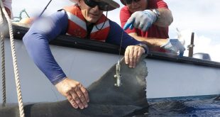 University of Hawaiʻi at Mānoa researchers Carl Meyer, left, and Kim Holland tagging a tiger shark.