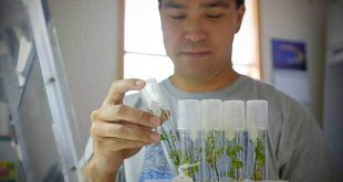 Keoni Kikala, a botanical support student assistant, in the Hawaiian Rare Plant Program Micropropagation Laboratory in the Lyon Arboretum.