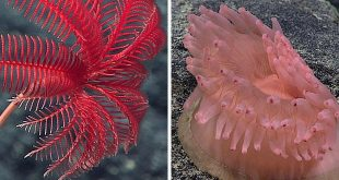 Left: A beautiful stalked crinoid, likely Proisocrinus ruberrimus (credit: NOAA OOER) . Right: An anemone living on a manganese-encrusted rock. (credit: NOAA.).