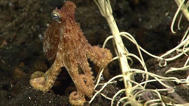 A small octopus near crinoid stalks. (credit:NOAA OOER)