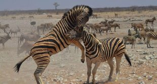 Zebras in Etosha National Park, Namibia. Photo: Alison Woodley
